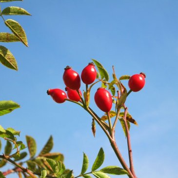 The Benefits of Rosehip Oil for Your Body and Your Skin