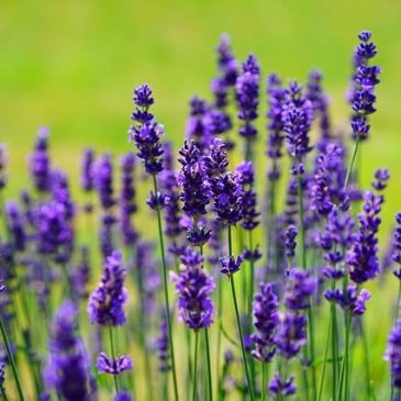 Lavender Oil and its Skin Benefits