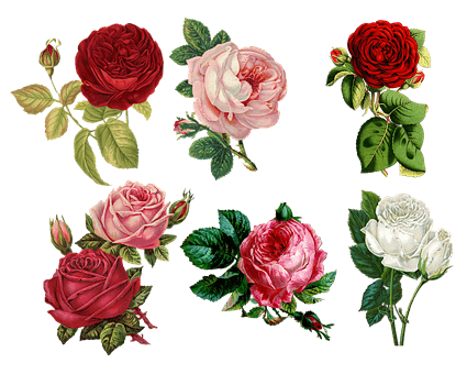 rose water - graphic of red, white and pink roses