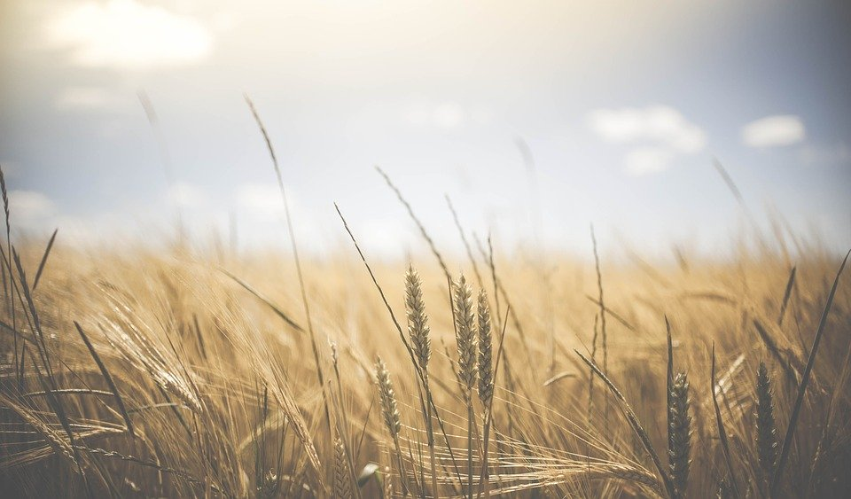 Harvest and Nature's Bounty - wheat field